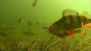 рыба у крючка
